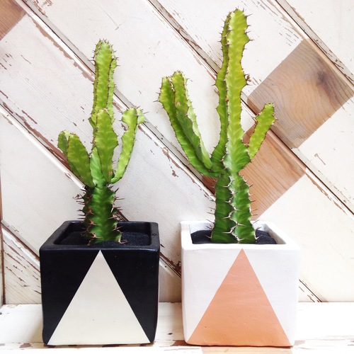 How To Know The Difference Between Succulents Cacti Establish