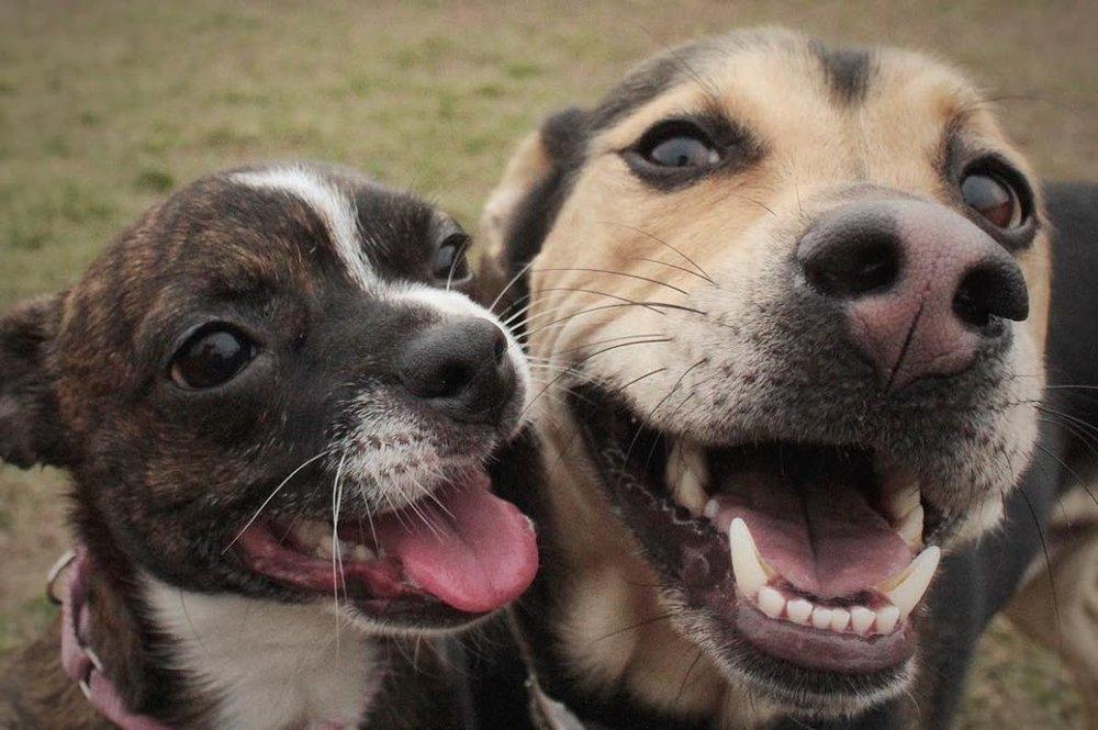 Freja and Yogi%0A%0A#chihuahua #houndmix.jpg