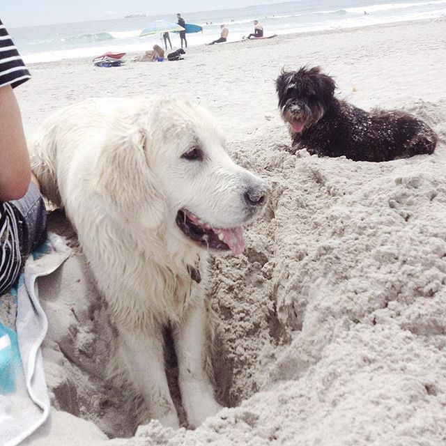Just two pals hanging out at the beach back when the weather was 💯....Bring on summer hols and play dates with @louie_boult_the_retriever 🐶☀️🐶 #archieneededahaircut #badparents #beachbuddies #louieandarchie #doggiepals #mountmaunganui