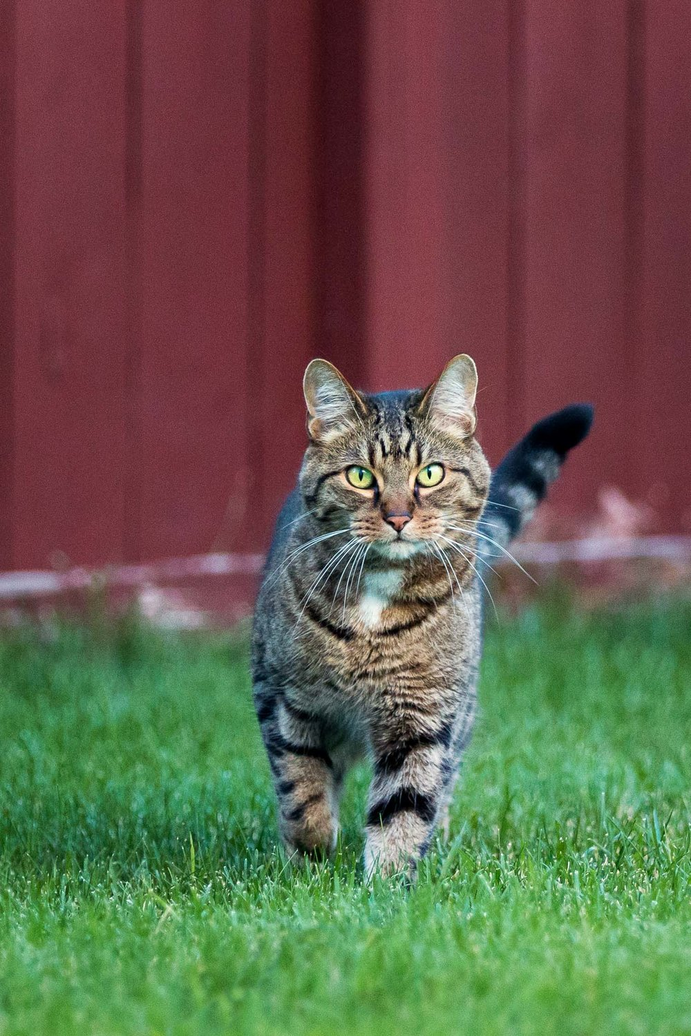 Tabby cat backyard
