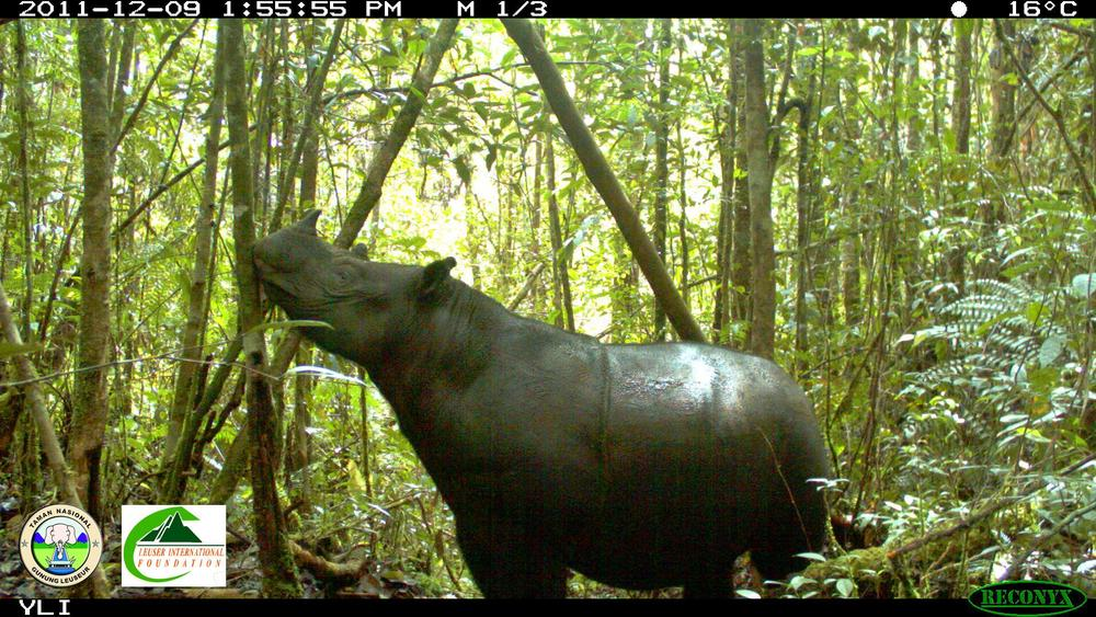 Infrared-triggered camera-trap photograph of wild Sumatran rhinoceros from Gunung Leuser National Park, Indonesia. Sumatran rhinos are very elusive and these pictures are among the first to document them in the wild population there, says lead author Wulan Pusparini. Courtesy of Leuser International Foundation and Gunung Leuser National Park
