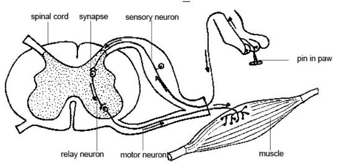 The interneuron (here described as relay neuron) – the cell that governs when you itch.   CostaPPPR/wikimedia