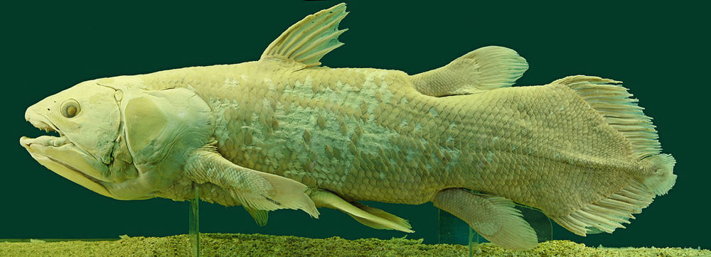 Coelacanth: extinct for millions of years … then found alive - Image credit:  Alberto Fernandez, Wikimedia commons