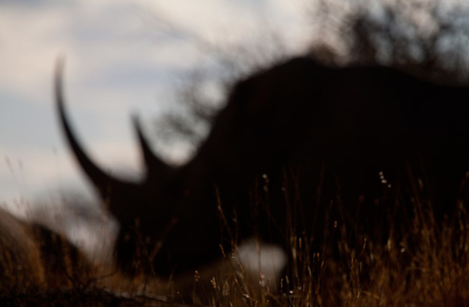 What does the future hold for the white rhino? - Image Credit: Jason Gilchris