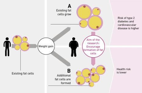 There are two scenarios for weight gain: either the additional fat is absorbed by existing fat cells, which causes them to grow in size (A), or it is distributed among newly formed fat cells (B). Some 20 percent of overweight people are healthy and have smaller fat cells. Their risk of developing diabetes or cardiovascular disease is very low compared to most overweight people, who have enlarged fat cells. That's why ETH professor Christian Wolfrum and his team are looking for ways to encourage the formation of fat cells. (Graphic: www.tnb.ethz.ch/research/adipofunc, Crafft)