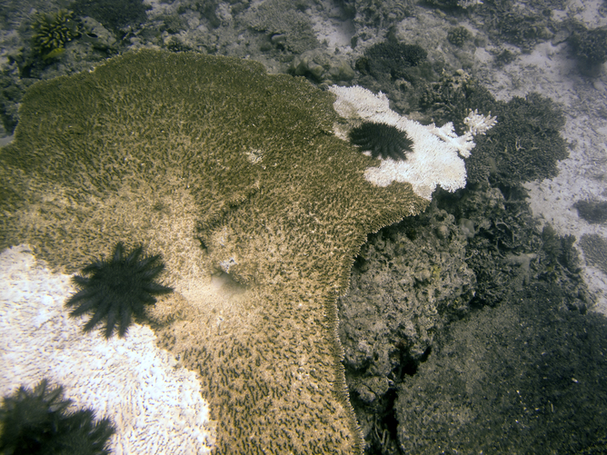 Crown-of-thorns starfish eating remnant Acropora colony - Image Credit: Christopher Doropoulos
