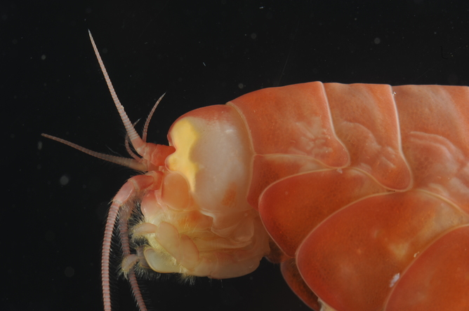 An Amphipod at 8,000 metres. Alan Jamieson, Author provided