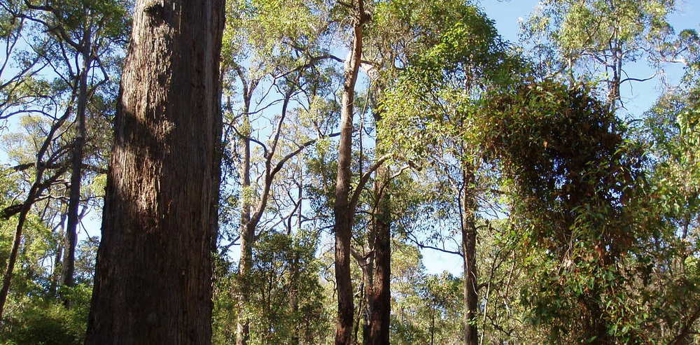 Western Australia's few remaining giant jarrahs are increasingly lonely monuments to the forest's towering past. - Image Credit: Amanda Slater/Wikimedia Commons