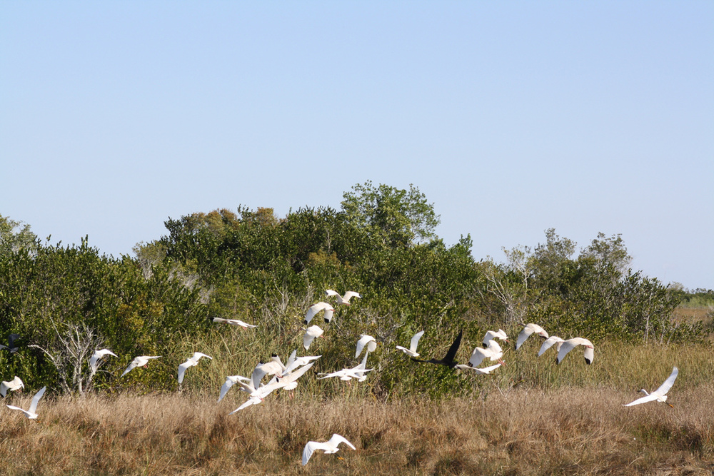 Flock of ibis, Everglades National Park. - Image Credit:  Linda Friar, National Park Service/Flickr