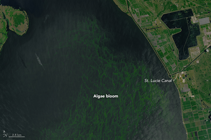 Detail from a satellite photo of Lake Okeechobee's algae bloom and the St. Lucie canal into which water was released. Rising water levels from heavy winter rains had water managers worried that water would breach the dike. – Image Credit:  NASA