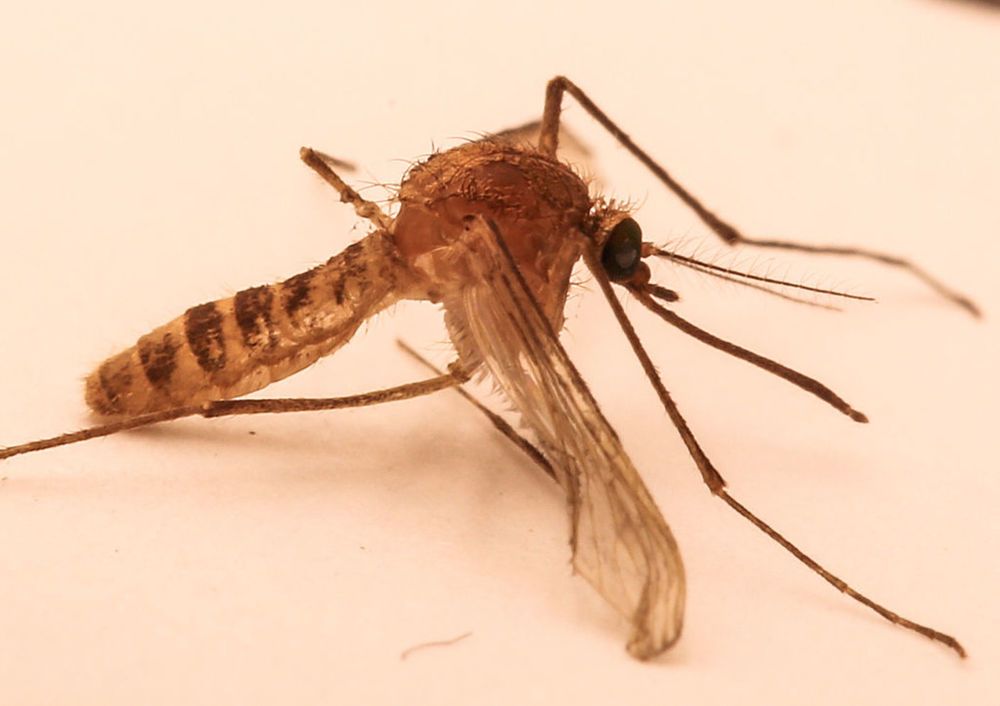Culex pipiens f. molestus, the mosquito species unique to the London Underground. - Image Credit: Walkabout12,  CC BY-SA