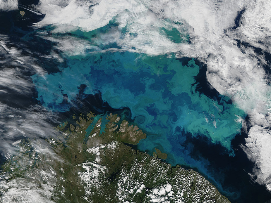 A bloom of phytoplankton in the Barents Sea: the milky blue colour strongly suggests it contains coccolithopores. - Image Credit:  Wikimedia/NASA Earth Observatory