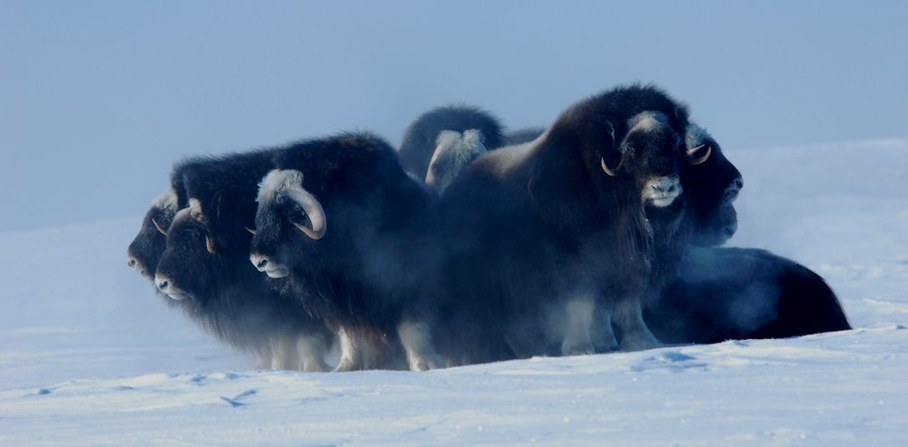 Muskoxen group together for security. - Image Credit: Joel Berger, Author provided