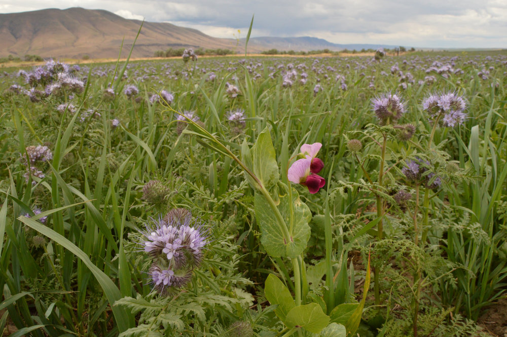 Cover crops planted on wheat fields in The Dalles, Oregon. - Image Credit:  Garrett Duyck, NRCS/Flickr ,  CC BY-ND