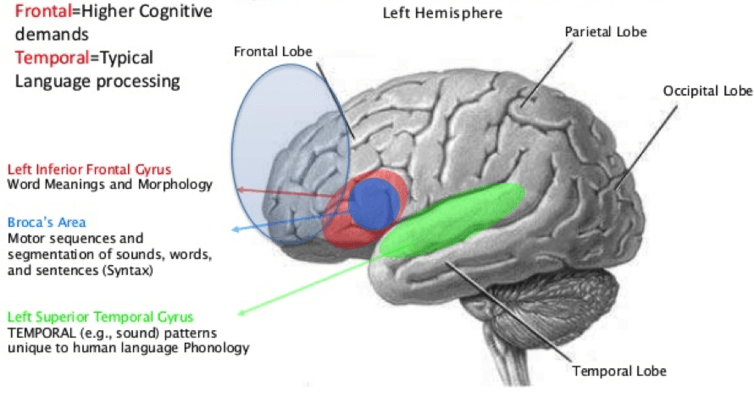 Language areas of the brain. - Image source:  WikimediaCommons ,  CC BY-SA