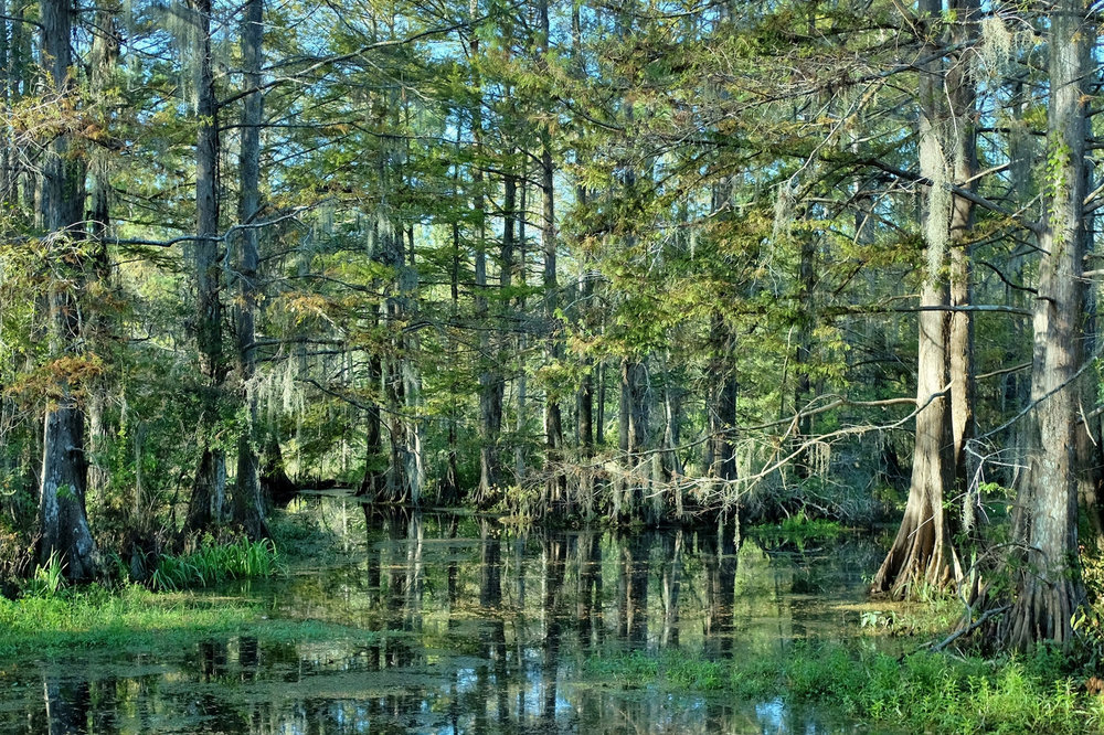 Cypress swamp near Mandeville, Louisiana. - Image Credit:  Neal Wellons/Flickr ,  CC BY-NC-ND