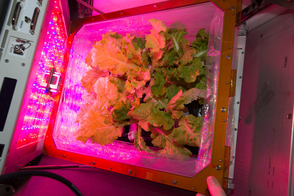 Chinese cabbage is grown in the Veggie facility on the International Space station. The sprouts form in a low-maintenance foam pillow and are grown using a special light to help the plants thrive. - Image Credit NASA