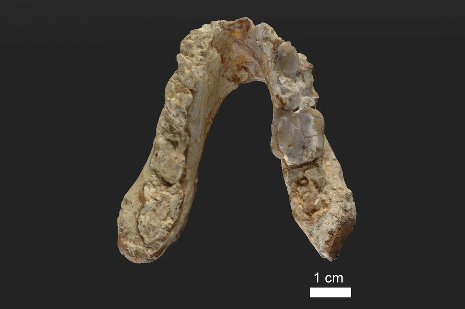Lower jaw of the 7.2 million year old ape species Graecopithecus freybergi (El Graeco) from Pyrgos Vassilissis, Greece (today in metropolitan Athens). - Image Credit: Wolfgang Gerber, University of Tübingen