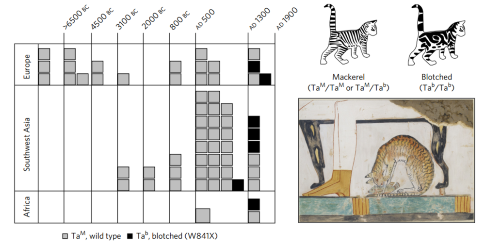 'Blotched' tabby cat genes became more common alongside striped 'mackerel' patterns in the later Middle Ages. Ottoni et al., 2017/Nature, Ashmolean Museum, University of Oxford, Author provided
