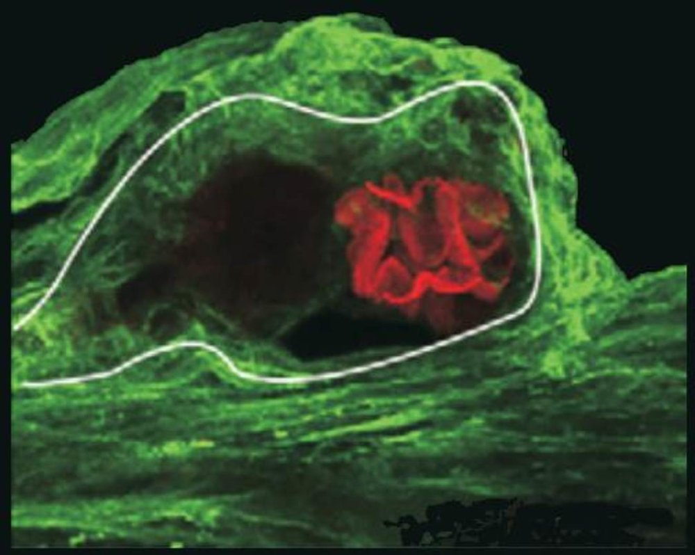A photoreceptor cell in the brain of a horseshoe crab. Green indicates the presence of the photosensitive molecule peropsin. Membranes in the cell known to respond to light are red. - Image Credit: Barbara Battelle,  CC BY-ND