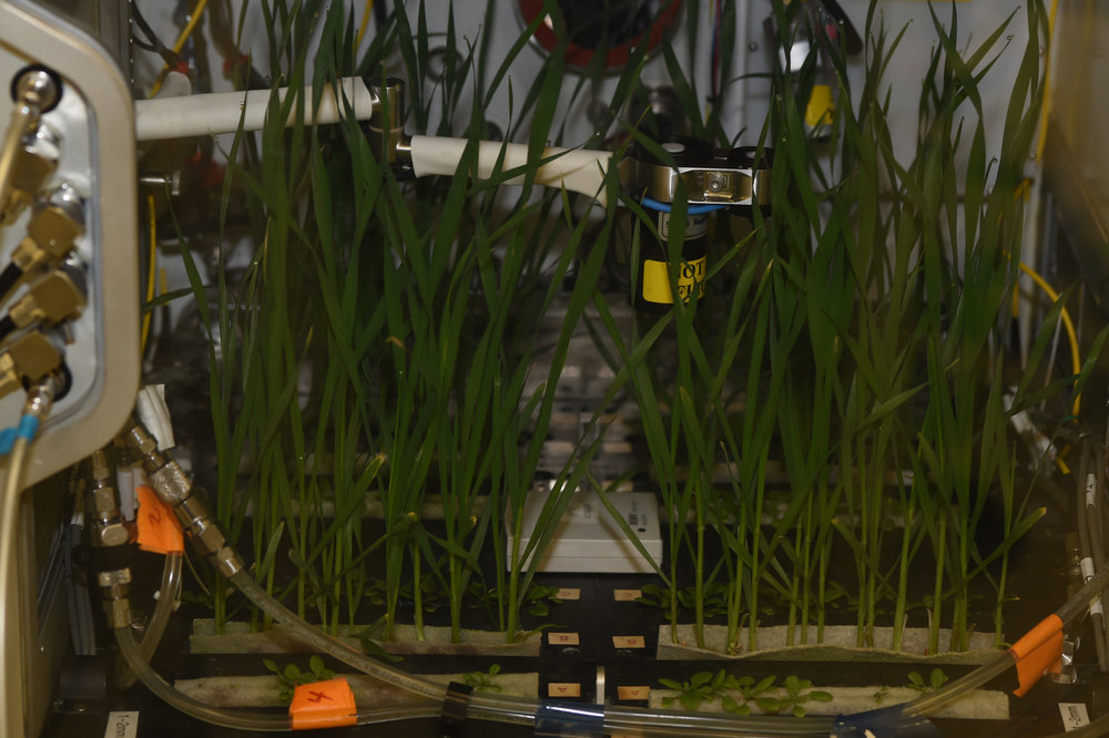 A test unit, or prototype, of NASA's Advanced Plant Habitat (APH) with its first initial grow test in the Space Station Processing Facility at Kennedy Space Center in Florida. The taller plants are dwarf what and the smaller plants are Arabidopsis. Developed by NASA and ORBITEC of Madison, Wisconsin, the APH is the largest plant chamber built for the agency. - Image credit: NASA