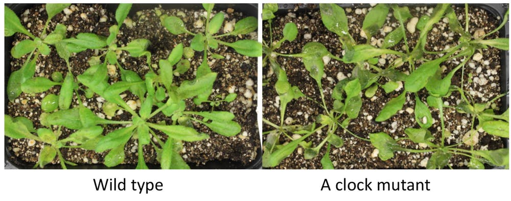 After infection by a fungus, plants with a mutant circadian clock (right) showed much more damage than the normal plants (left). - Image Credit: Hua Lu,  CC BY-ND