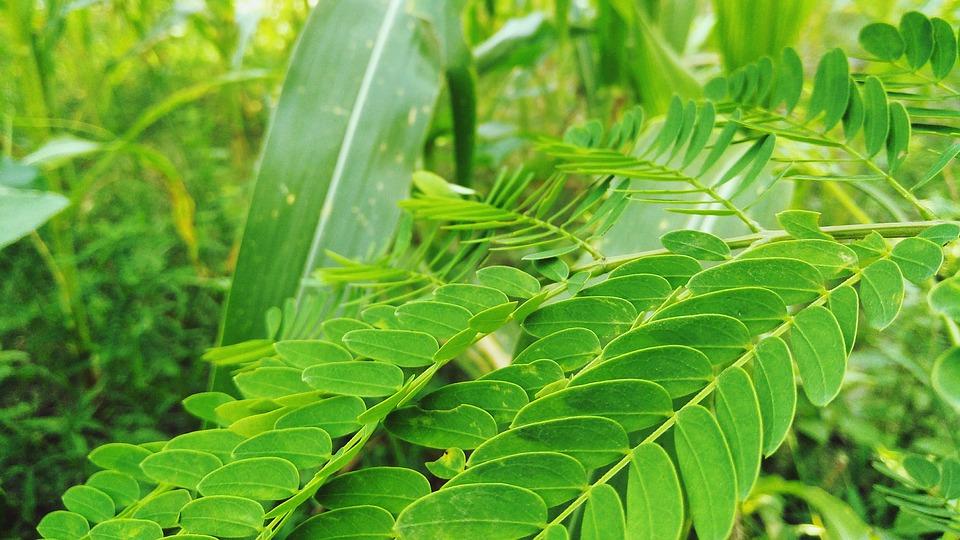 Tamarind leaves - Image Credit Max Pixel