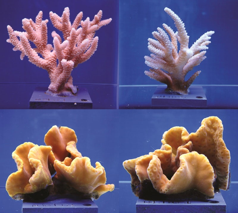 Above, staghorn coral before (left) and after (right) higher temperatures and acidity. Below, the yellow scroll coral before and after the same conditions. - Image Credit: Ohio State University