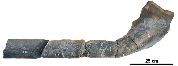 Jaw bone of giant ichthyosaur.Dean Lomax,Author provided