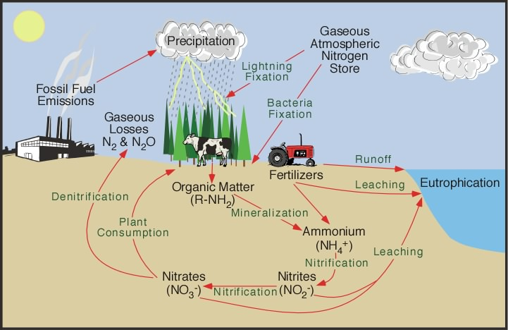 Traditional view of the nitrogen cycle, including human contributions from fossil fuel combustion and use of synthetic nitrogen fertilizer. - Image Credit: NOAA