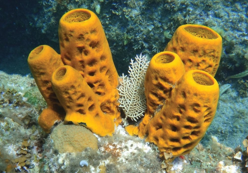 The first animal may have been like a sponge.- Image Credit: T imothy W. Brown via Wikimedia Commons