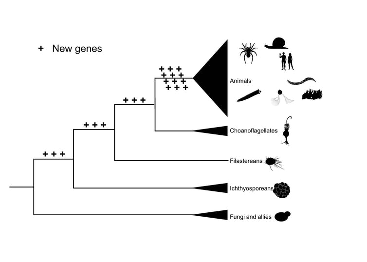 Novel genes in animals and their relatives. - Image Credit: Jordi Paps,Author provided
