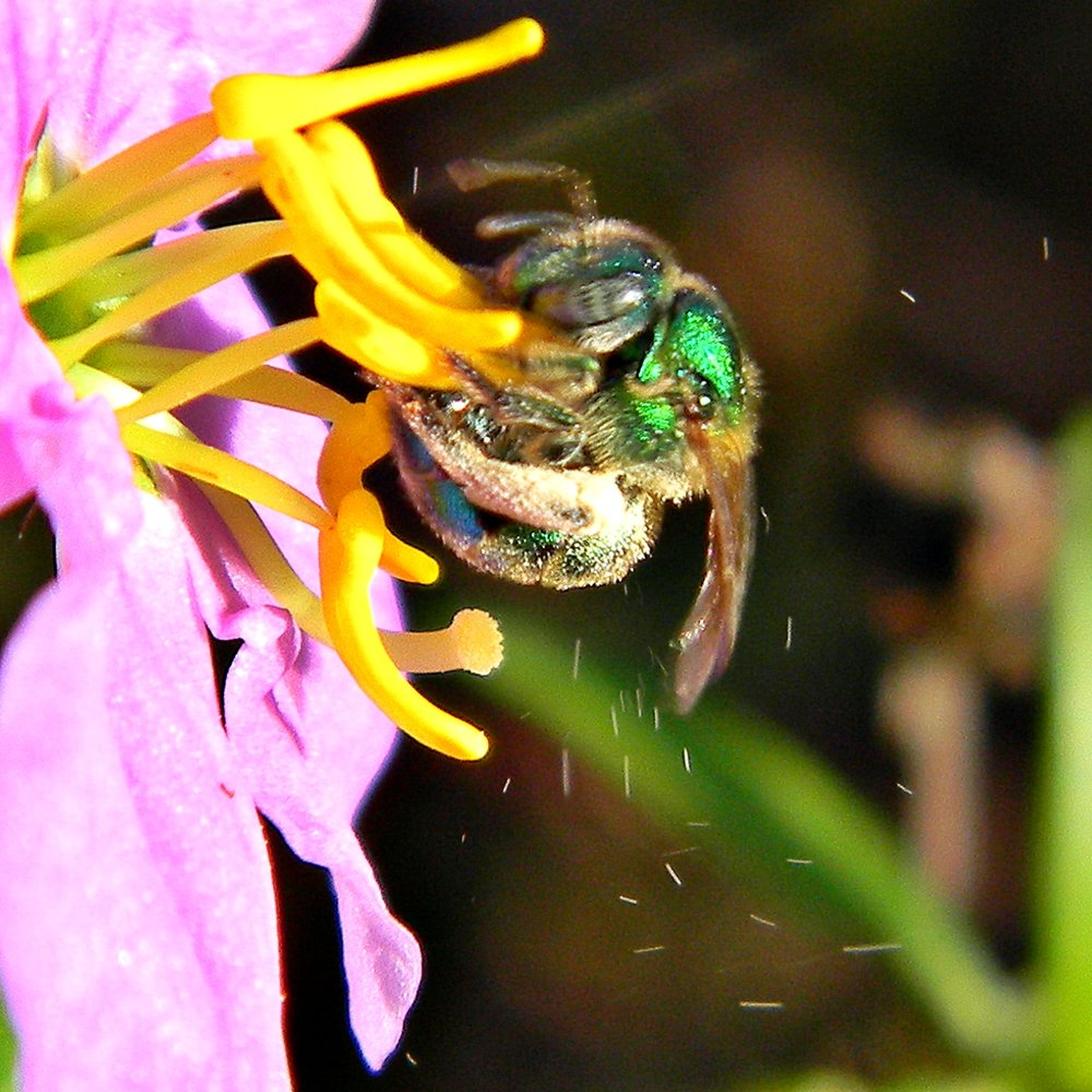 A sweat bee uses 'buzz pollination' to dislodge pollen grains from a flower. - Image Credit:  Bob Peterson ,  CC BY