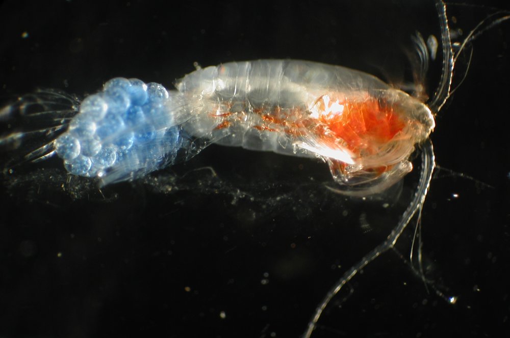 Copepod with eggs (blue). Copepods are typically just a few millimeters long, but are important food sources for small fish. - Image Credit:  NOAA