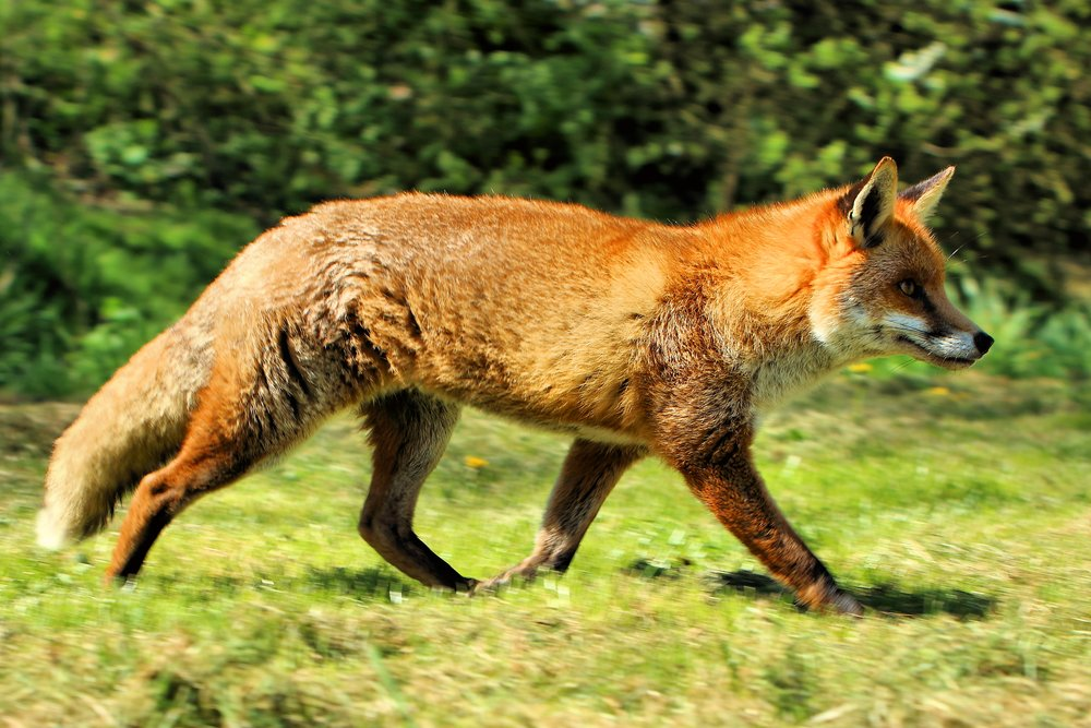 Image Credit: B ritish Wildlife Centre via Wikimedia Commons