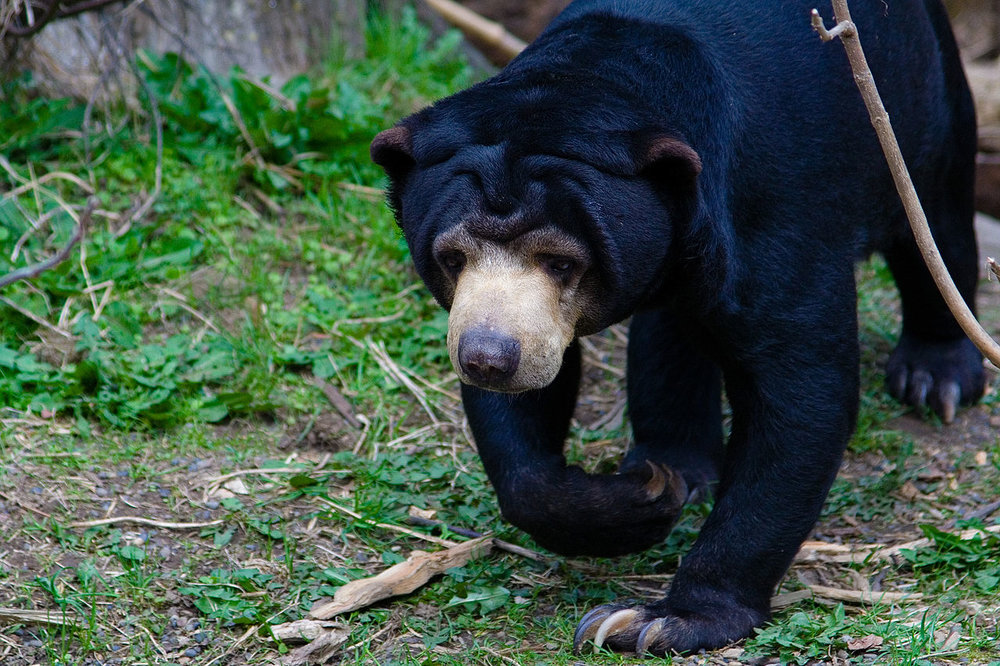 Sun bears retreat from the sunny hours when people are nearby. - Image Credit:  Zach Brockway via Wikimedia Commons