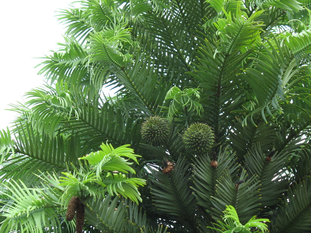 Wollemi pines once covered prehistoric Australia - Image Credit:  Akerbeltz via Wikimedia Commons