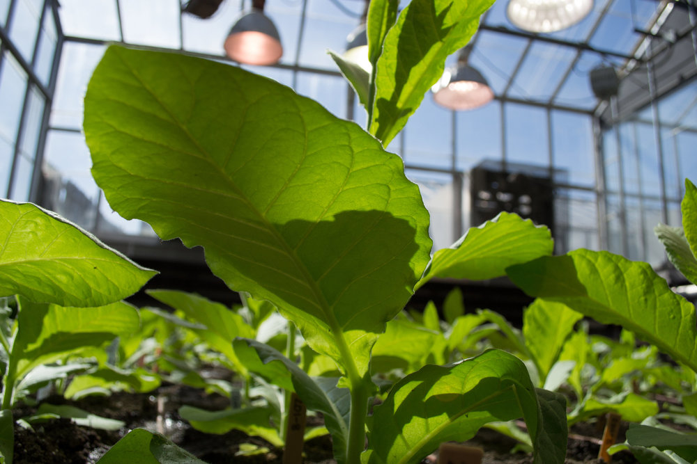 Genetically engineered tobacco plants growing in a greenhouse. - Image Credit: Paul South, CC BY-ND