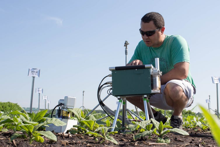 Author Paul South measures the rate of photosynthesis in the tobacco plants in a field site in Illinois. - Image Credit: Claire Benjamin, CC BY-ND