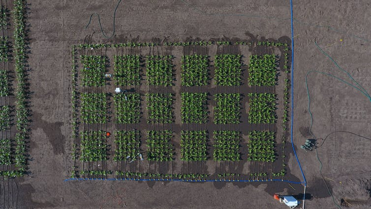 A shot of the field where South and his colleagues test their genetically modified tobacco plants. This image was taken by a drone in 2017. - Image Credit: Beau Barber, CC BY-ND