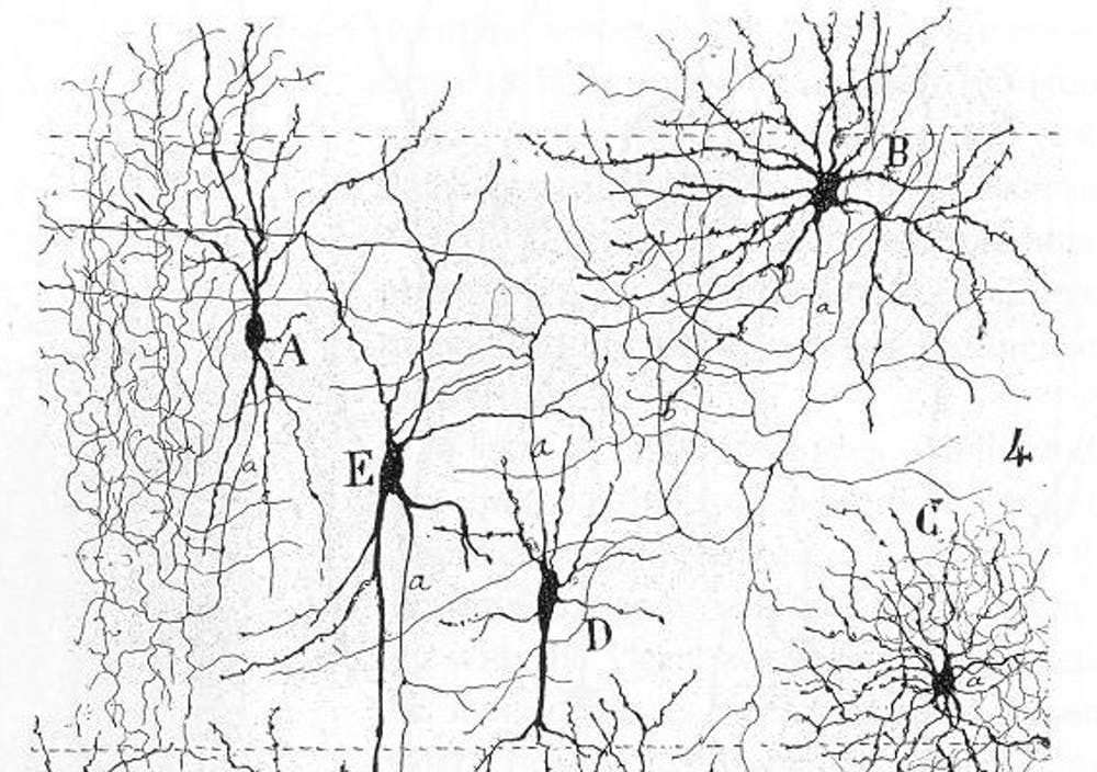 Electrical pulses carry signals along the branches of neurons. - Image Credit: Santiago Ramón y Cajal , CC BY