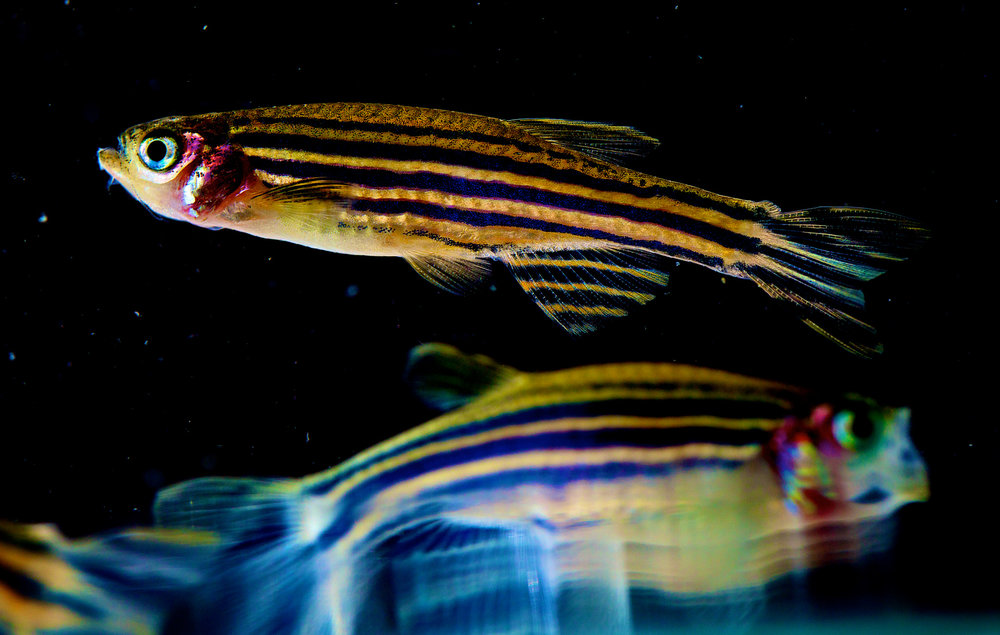 Zebrafish are known for their black and gold stripes. - Image Credit:  NICHD/flickr ,  CC BY