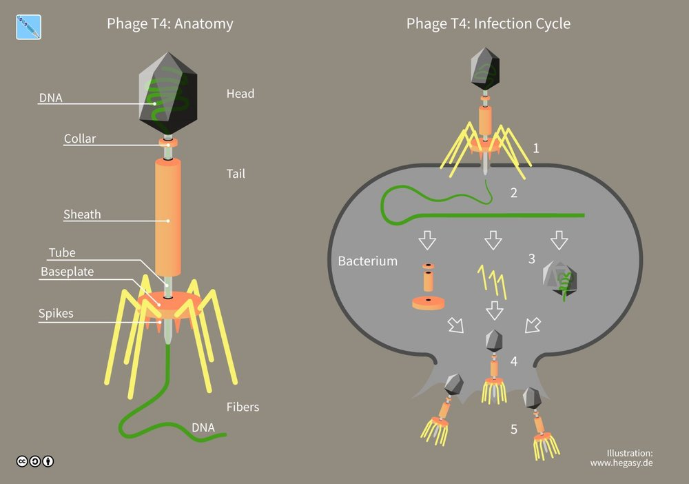 A virus called a bacteriophage infects bacteria and inserts its genetic material into the cell. The bacterium 'reads' the genetic instructions and manufactures more viruses which destroy the bacterium when they exit the cell. - Image Credit:  Guido4 ,  CC BY