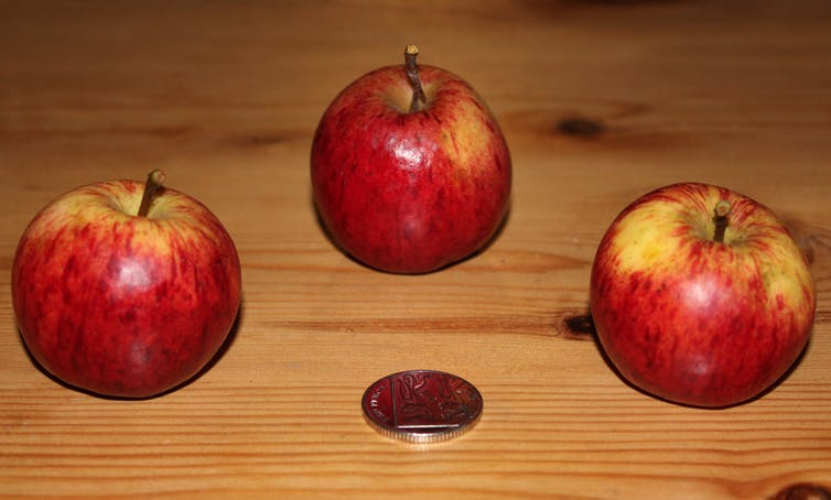 Unique apple variety from Frongoch Farm, near Aberystwyth (DNA A1791). - Image Credit: Danny Thorogood, Author provided