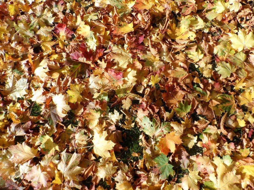Autumn leaves - Image Credit: C. Verhagen via Universal-Sci  CC BY 4.0