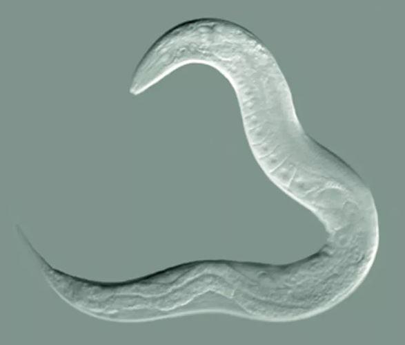 C elegans.- Image Credit: Bob Goldstein, UNC Chapel Hil, CC BY-SA