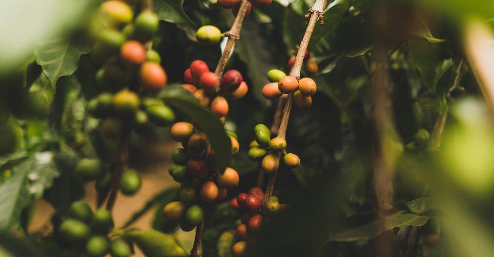 Coffee plants - Image Credit:  Clint McKoy via Unsplash