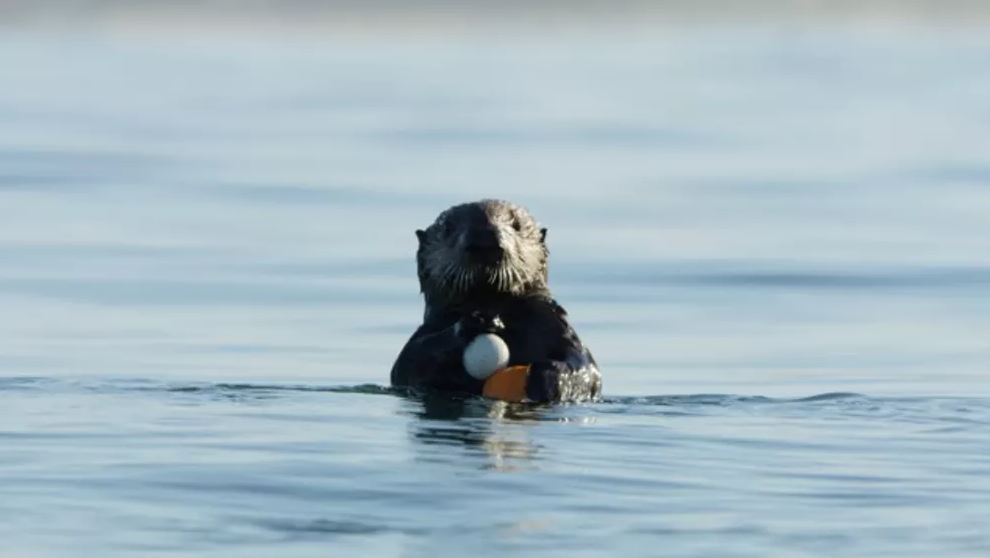 A sea otter holding a golf ball at one of our study sites. - Image Credit: Alex Weber,  CC BY-ND