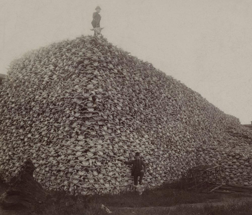 Bison skulls collected during the slaughter, mid-1870s.- Image Credit:  Wikimedia Commons