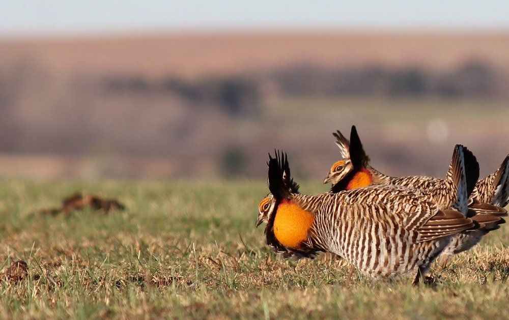 Male prairie chickens in the Flint Hills, Oklahoma, displaying for mates. - Image Credit:  Greg Kramos  - SFWS Mountain-Prairie via Wikimedia Commons